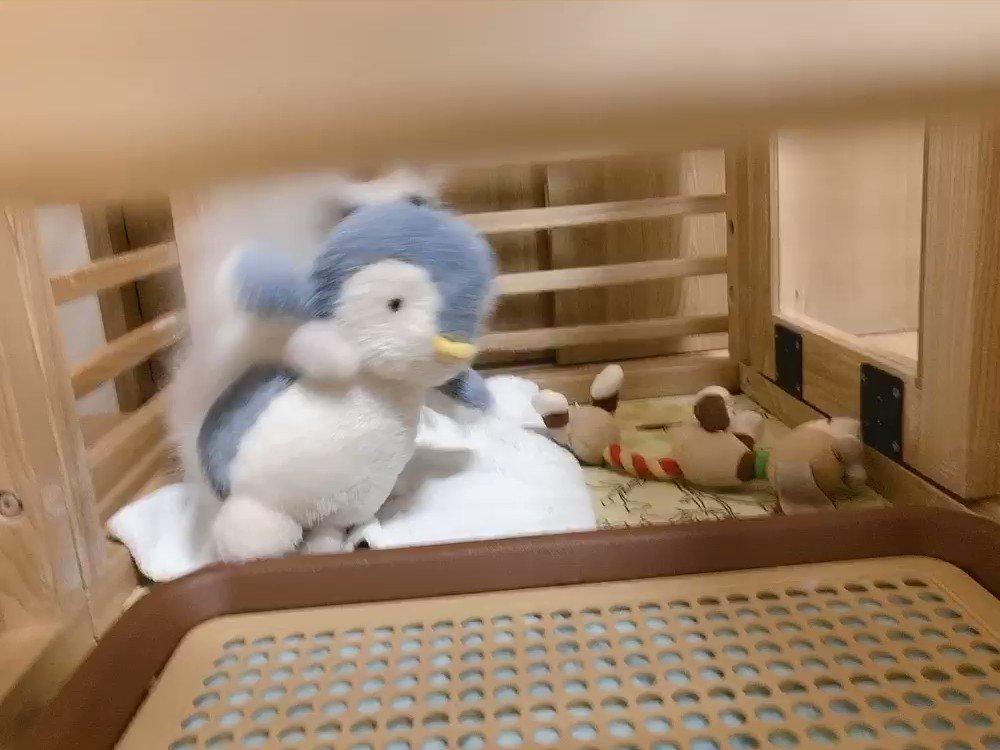 …そらくんが何かしてる🤣✨お人形劇でもやってるのかな?😊#ポメラニアン #犬のいる暮らし #Pomeranian #犬好きさんと繋がりたい