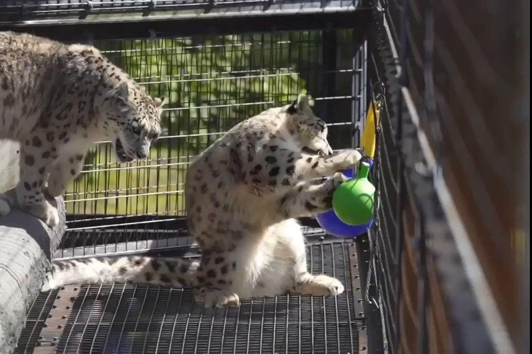 ボールに夢中なユーリちゃん。でも、やっぱりジーマお母さんのほうが好きみたいです。#旭山動物園 #ユキヒョウ