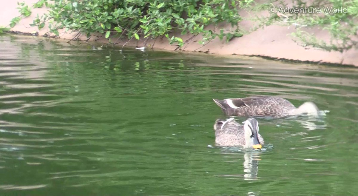 アーティスティックスイミングin水鳥の池#カルガモ #野鳥です #遊びに来ました
