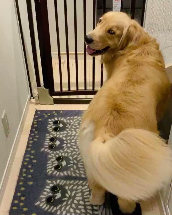 玄関にお客さん用のスリッパが出てるのを見て誰か来ると察してずっと尻尾振って待ってるコメさん。