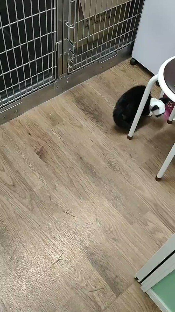 今日のウッキー面会動画です。目の見えないウッキーが、院内をお散歩していました。元気に探検ですね。#猫 #捨て猫 #cat #文京区 #足立区 #八潮市