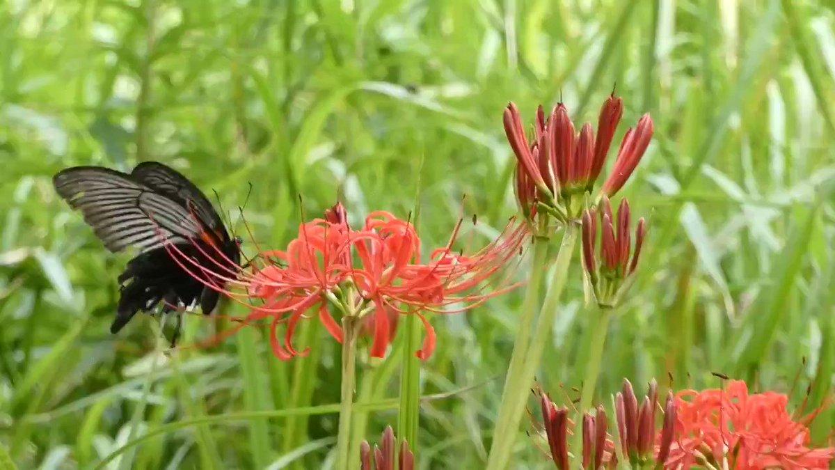 宮崎県高鍋町の山の中で見た曼殊沙華と黒い蝶です。