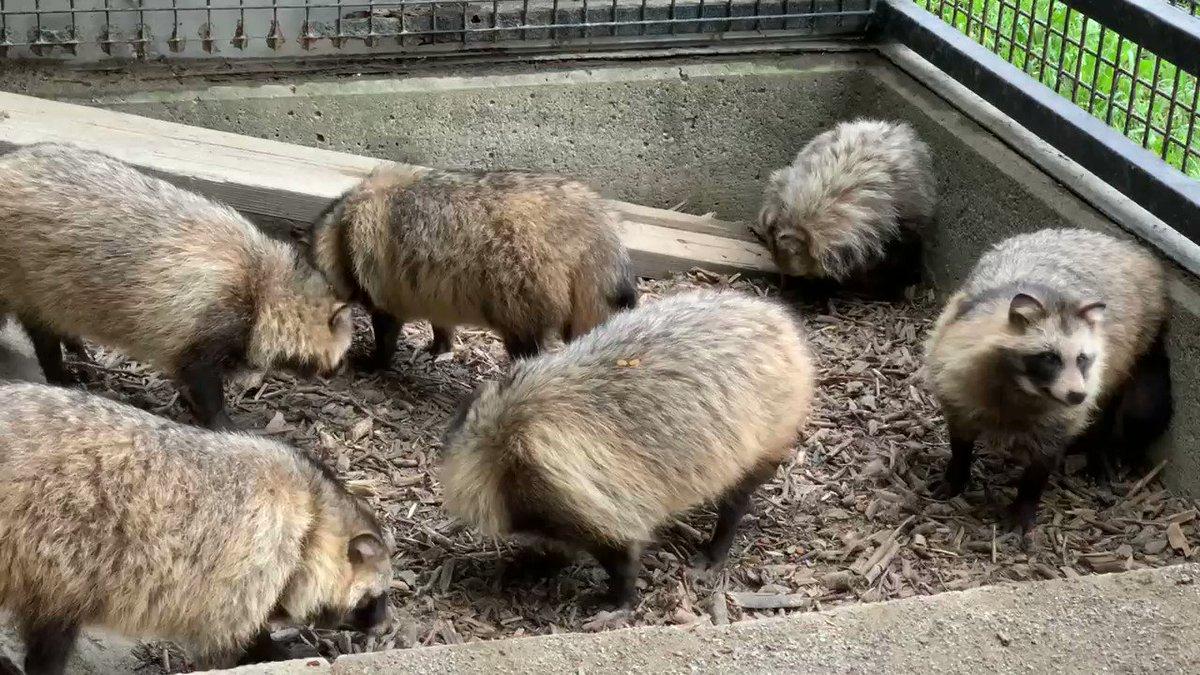 たぬのモフみと共にあらんことを。#おびひろ動物園 #エゾタヌキ#obihirozoo   #raccoondog#今日のたぬき  #モユク・カムイ