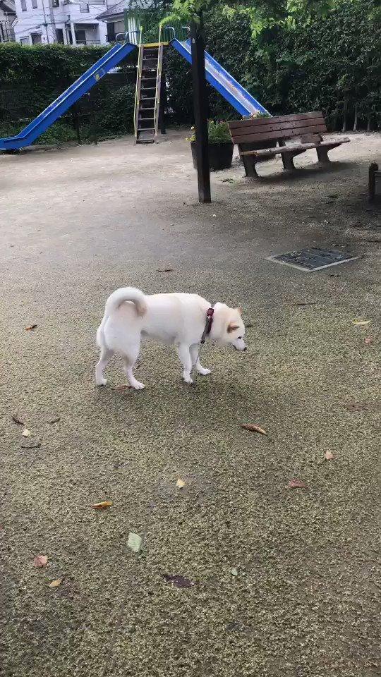 散歩に出たがやる気ない犬#犬の散歩とは#ベンチ犬