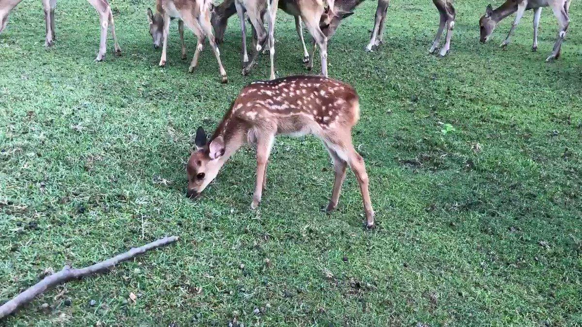 @Sankei_news そうかな?普通に草食べてましたよ。痩せてる鹿も見ませんでしたけどね。今年の9/8です。 https://t.co/iqpIMEtrTd