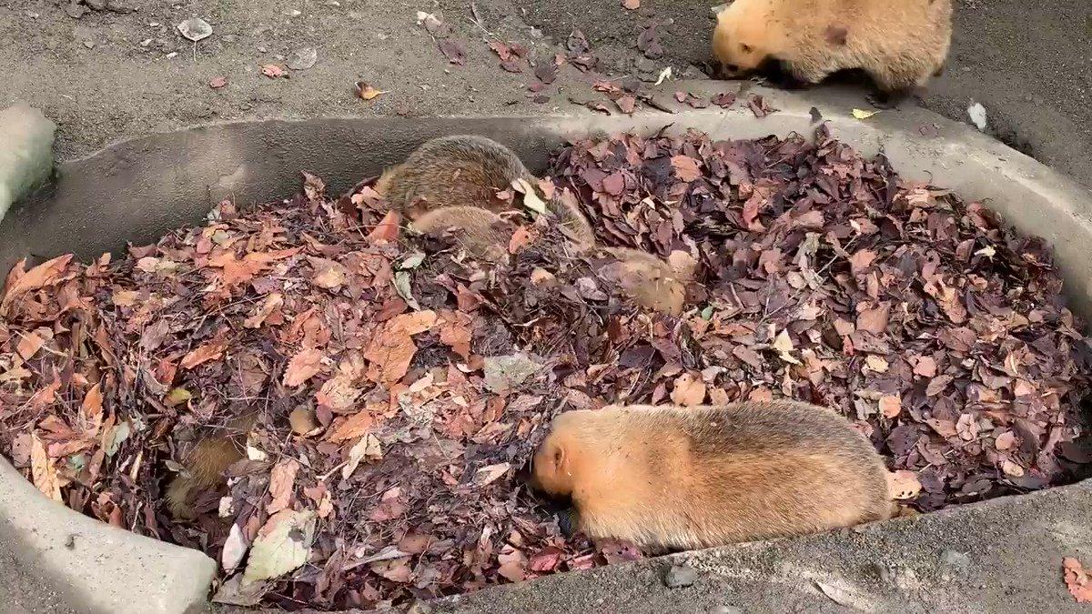 ニホンアナグマの放飼場に落ち葉を入れて、落ち葉プールを作りました。アナグマたちは、匂いを嗅いでみたり、潜ってみたり、出たり入ったりを繰り返していました。運動と食欲の秋です!