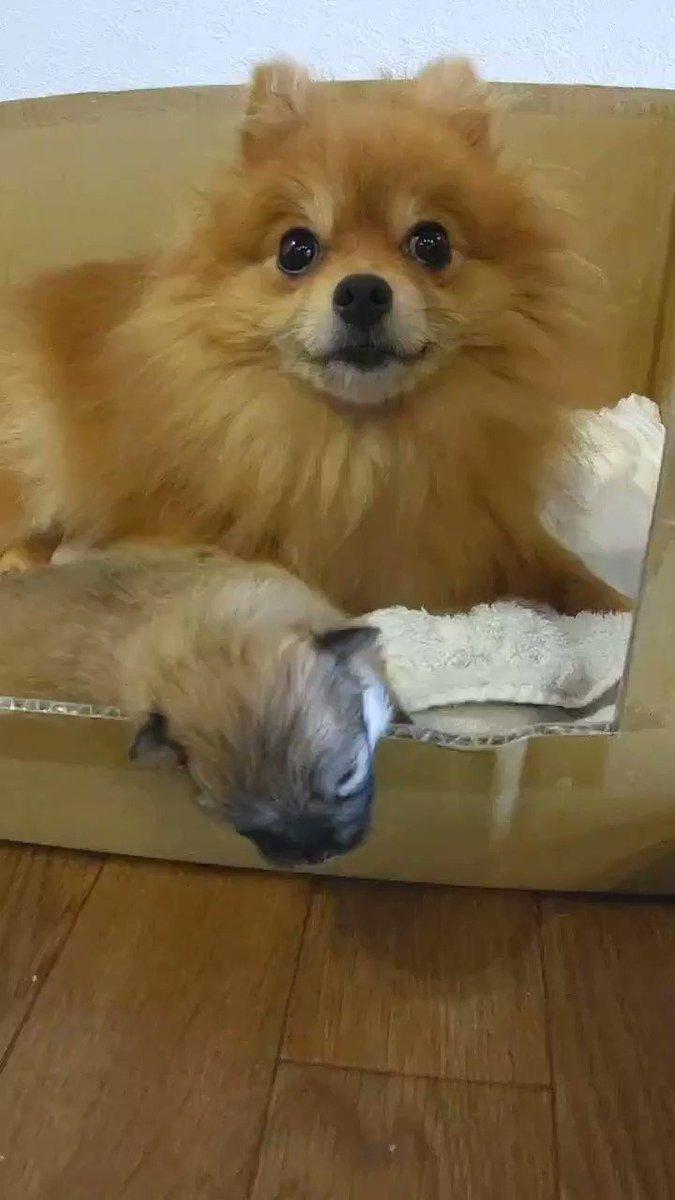 産箱から首を出して眠りたいコタツ#ポメラニアン #もふもふモフモフ #犬好きな人と繋がりたい