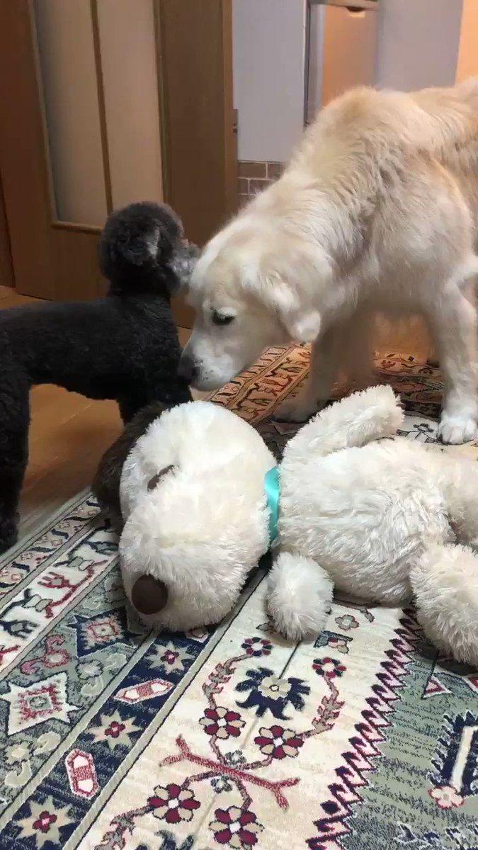 寝室に行こうとする姉さんを、遊ぼうや!と誘う小さい犬