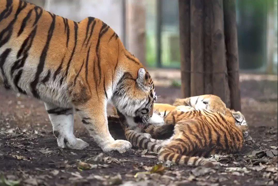 子トラ達が戯れ合っていても、お構いなしにお尻を舐め続けるザリアお母さん。大きくなっても、ザリアにとってはまだ赤ちゃんみたいです。#旭山動物園 #アムールトラ