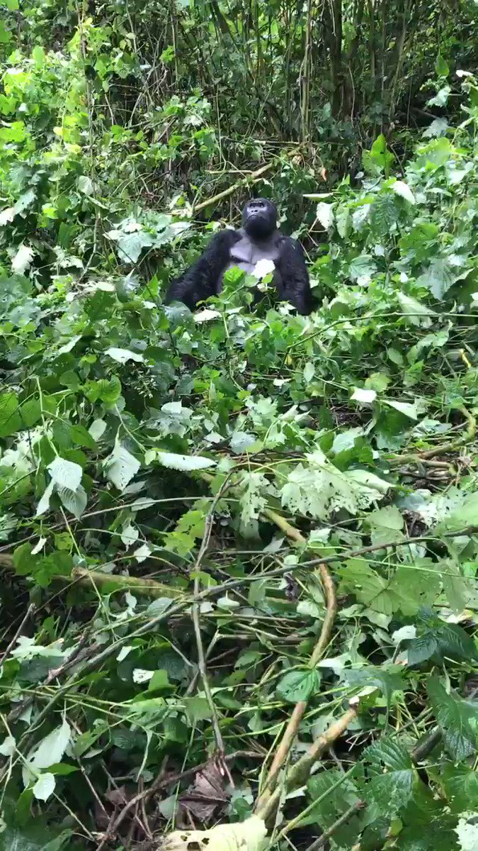 In honour of National Gorilla Day, here's a short video of a juvenile silverback taking down a tree branch to eat.