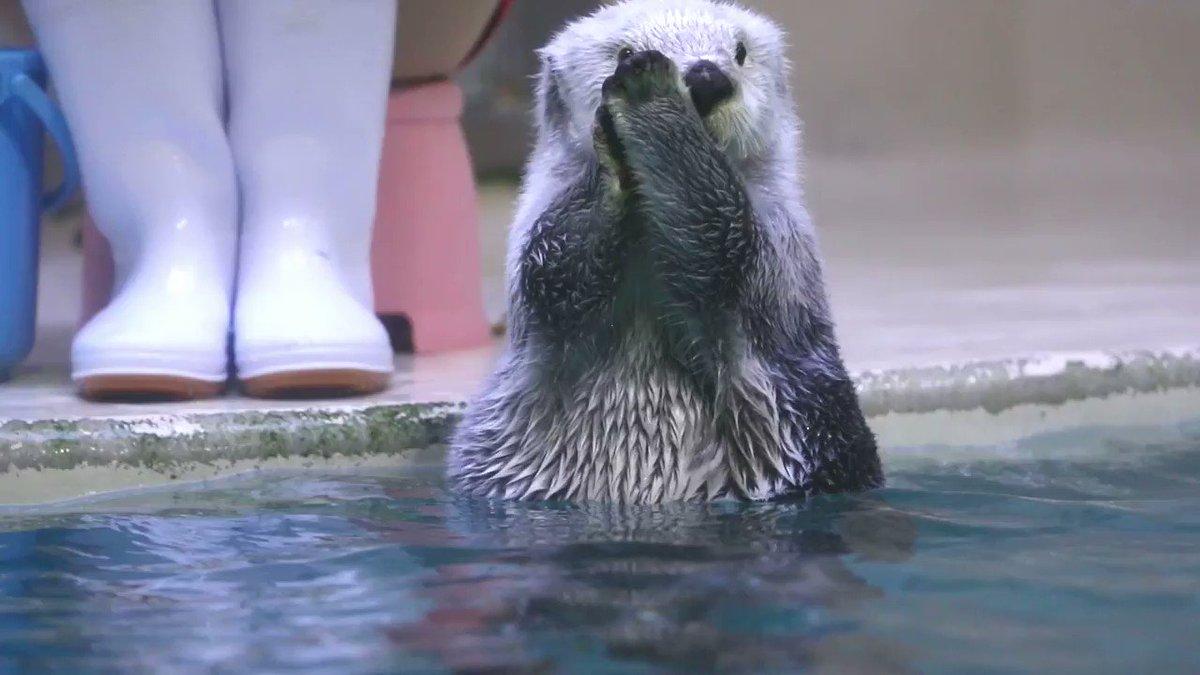 水槽前で、いつもお客さんのドヨメキが起きるメイちゃんのお顔ムニムニを近日中に何個かアップしようと思います🤗 #鳥羽水族館 #ラッコ #メイちゃん