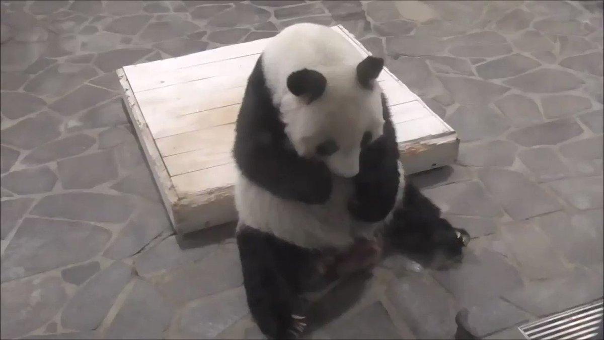 たんたんさん、少し遅いお昼ごはん。人参、ペレットを美味しそうに食べていました😋#きょうのタンタン#王子動物園 #ジャイアントパンダ