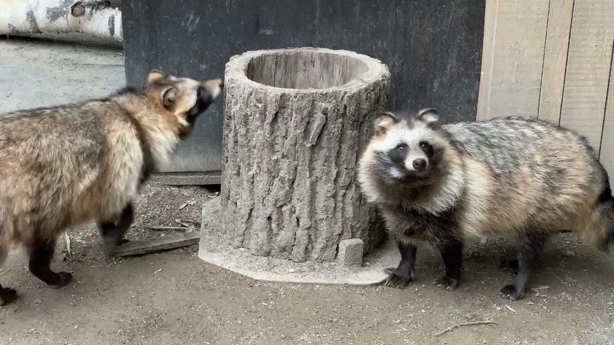 おっことしたぬき※音量注意、笑ってしまいました。#おびひろ動物園 #エゾタヌキ#obihirozoo   #raccoondog#今日のたぬき  #モユク・カムイ