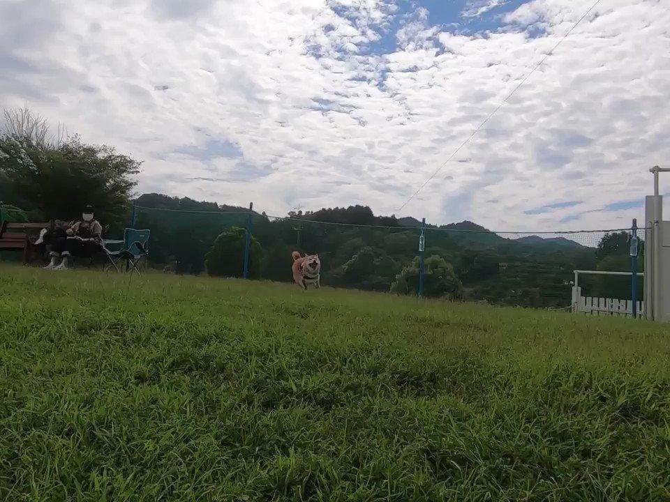 柴犬疾走中 ノーカットVer.こちらはGoProを持って一緒に走りながら撮影してます🏃♂️🐕💨