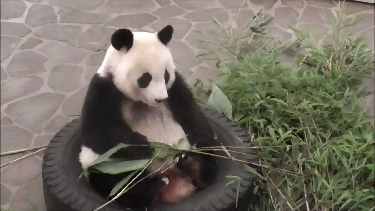 たんたんさん、遅めのお昼ご飯の様子です🐼#根曲がり竹 を美味しそうに食べてくれました😄#きょうのタンタン#王子動物園 #ジャイアントパンダ
