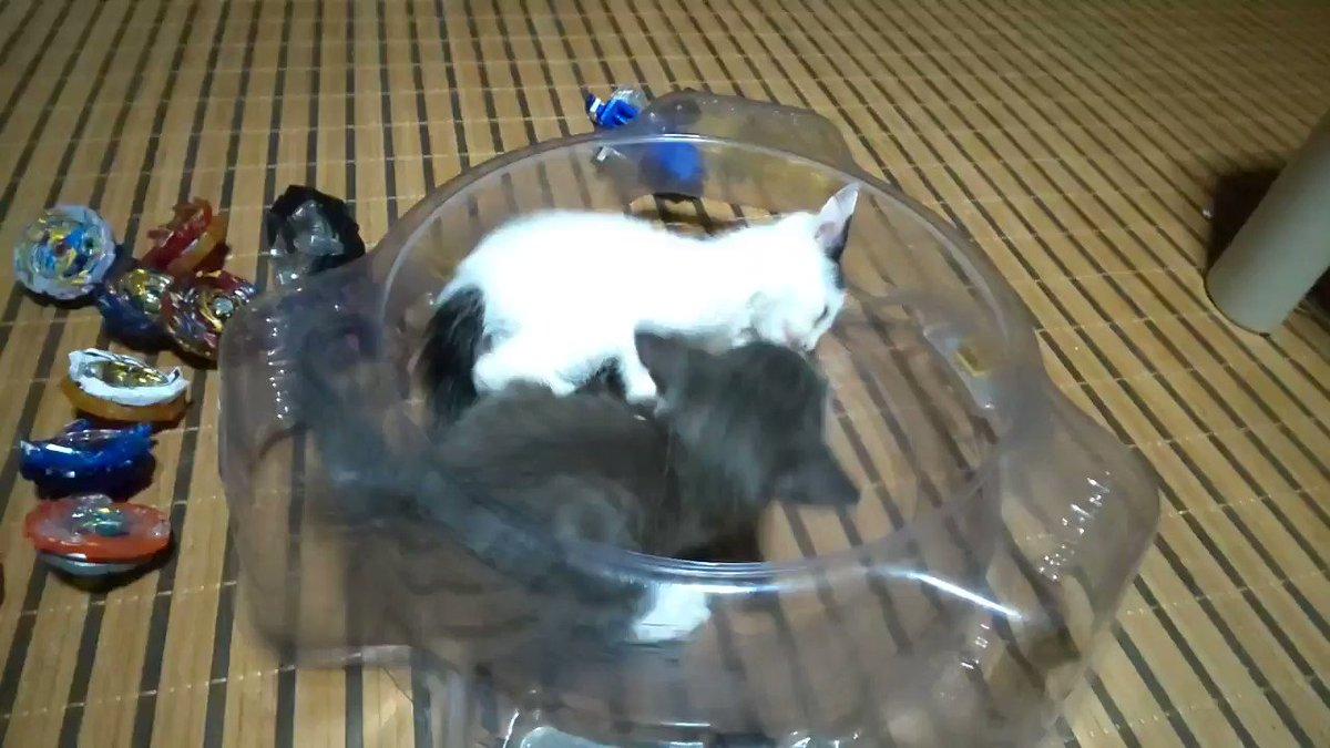 貓在戰鬥陀螺的戰場中戰鬥 IfQO21r9Wauxb0vR