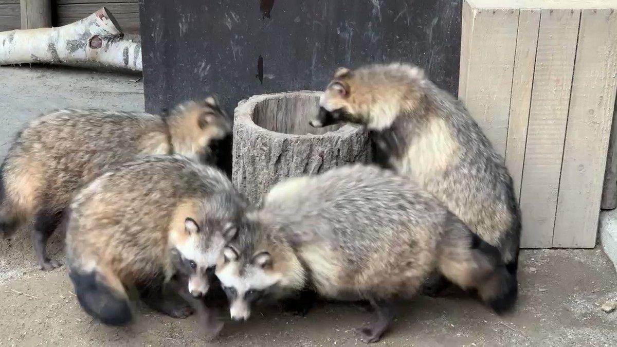 洞洞(うろうろ)作戦です!#おびひろ動物園 #エゾタヌキ#obihirozoo   #raccoondog#今日のたぬき  #モユク・カムイ