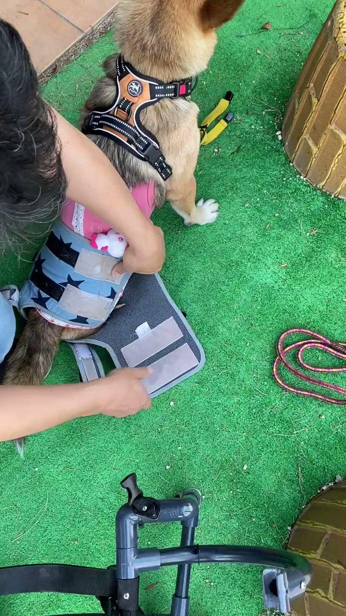 ボクのお散歩🐶🐾の大切な相棒を紹介するね 🚜✨✨⭐️⭐️⭐️ セラ君号 ⭐️⭐️⭐️※ 昨日の装着の様子だよ🐶💚#保護犬 #車椅子犬 #2本足犬