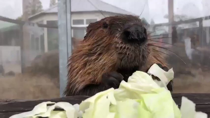 Studies have shown that listening to the sound of beavers enthusiastically munching on white cabbage can temporarily reduce stress levels by up to 17%. https://t.co/g8jcoCYeHP