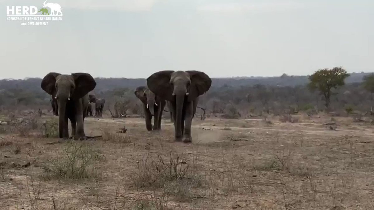 Albino #elephant calf Khanyisa's incredibly emotional greeting by the Jabulani Herd!   Full video link here:   #elephants #babyelephant #albinoelephant #southafrica #animallovers
