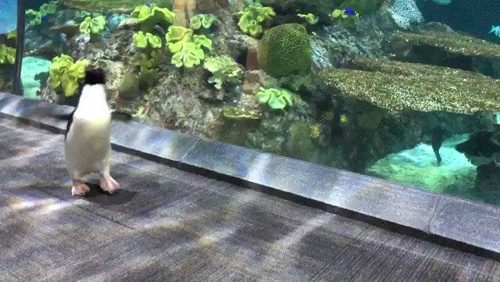 Replying to @shedd_aquarium: Some #WheresWellington Wednesday wisdom: When you get tired of walking, hop! 🐧