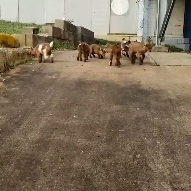 You didn't know you needed 15-seconds of baby goats jumping-around today — but you did...
