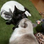 最高級接待とは・・・。いくらでも受けたい両手に猫ちゃん!