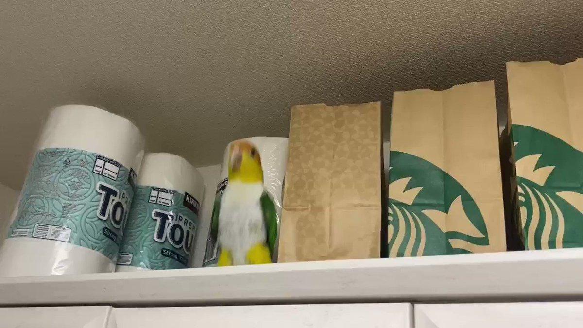 初めて食器棚の上(多分いままでで一番高い所)に登って嬉しいのぴょんぴょんが止まらないぽぽ氏  #シロハラインコ
