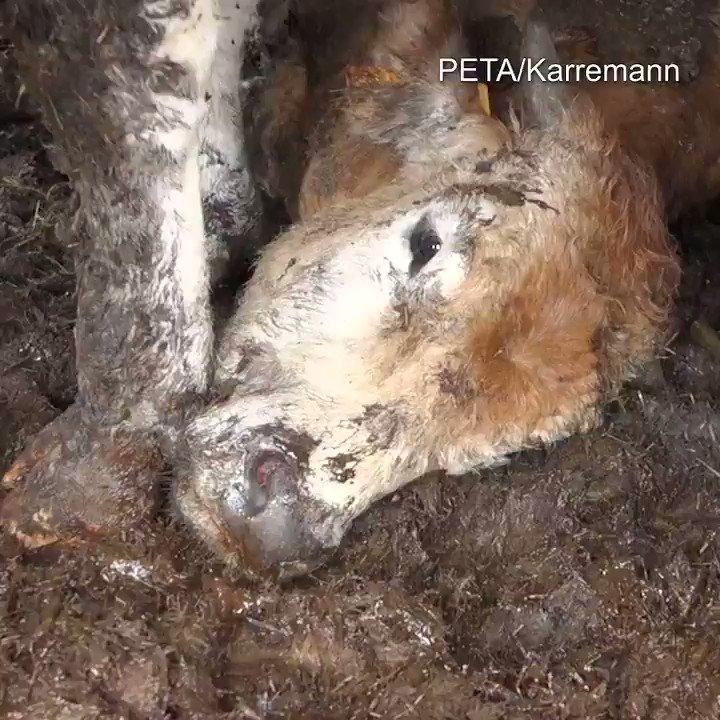 Si ces images vous choquent, agissez pour ces animaux transportés hors de l'UE, de 3 façons : 🗸 Devenez #vegan et épargnez ainsi les animaux exploités par l'humain 🗸 Demandez à la Commission européenne d'interdire l'exportation d'animaux vivants ➡️ https://t.co/oyKc4ZpvGN 🗸 RT https://t.co/2ja3VG4zaT