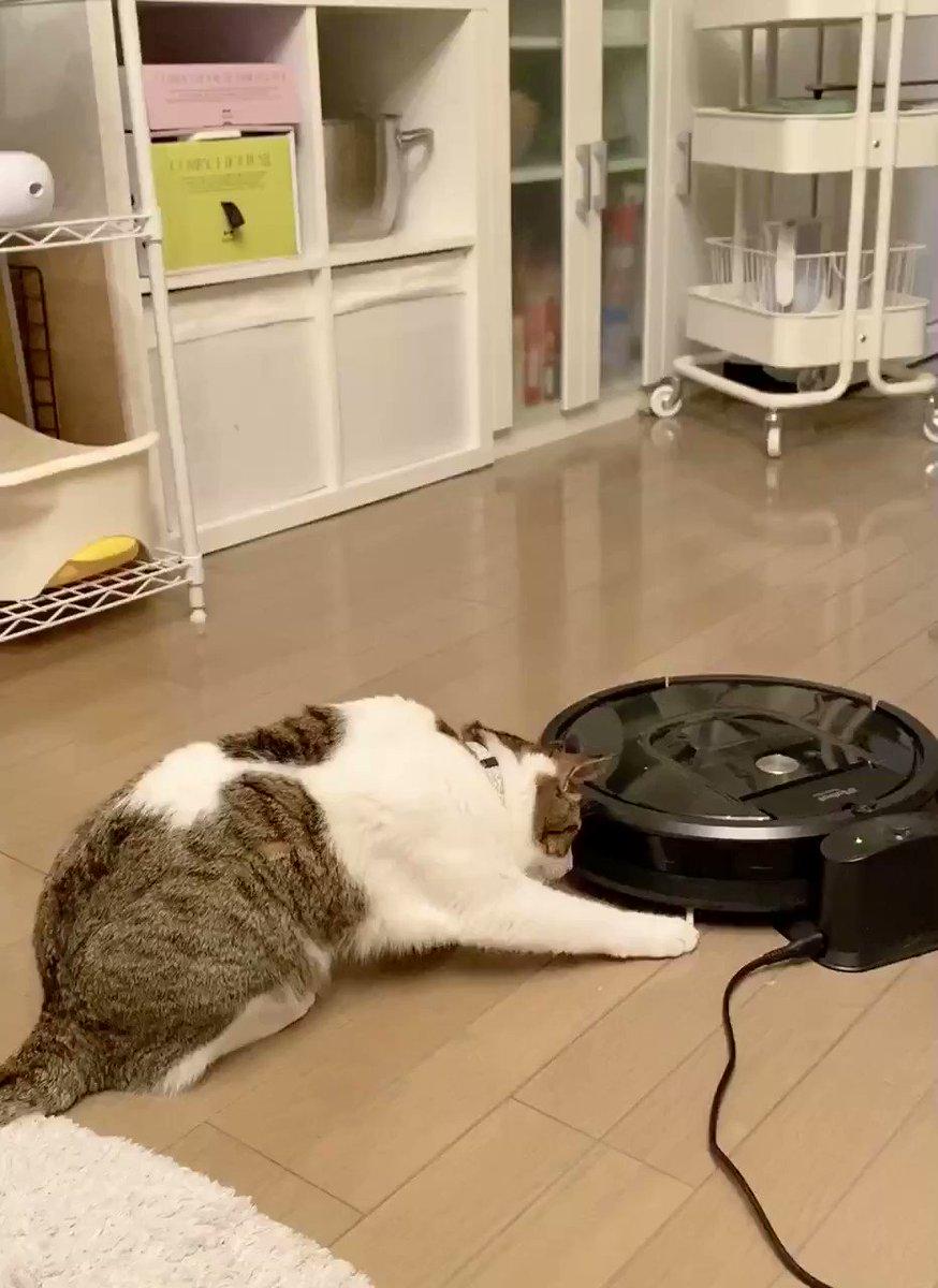 動くルンバに驚くうちの猫🐈