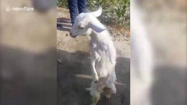 「麻痺した前足で生まれてきた子ヤギが歩き方を覚える」Goat born with paralyzed forelegs learns to walk upright北インドの村で生まれたヤギは生まれつき両方の前足が麻痺していた。飼い主は長くは生きられないと諦めたが、ヤギは後ろ足で歩く事を自分で覚えたそう。