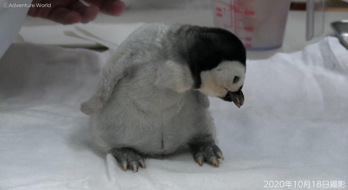 エンペラーペンギンの赤ちゃんが16日齢を迎えました♪ #エンペラーペンギン