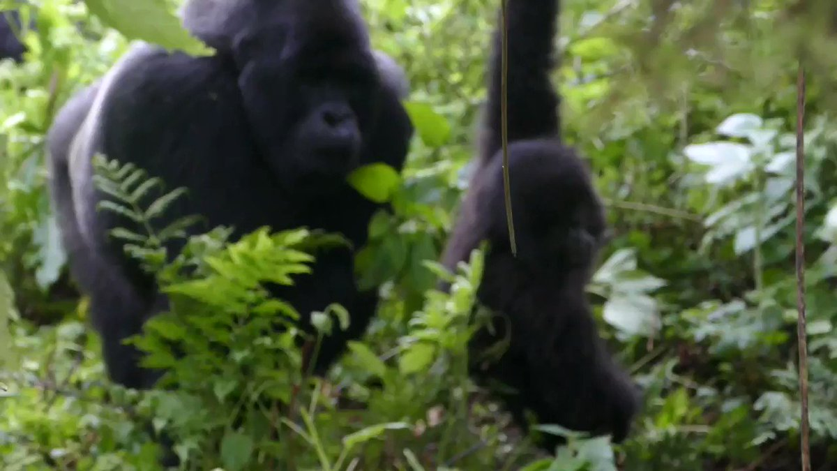 And nothing better to see a 2-year-old practicing skills with such determination and energy! She is practicing swinging on a vine, having a little fun while learning how to use a crucial forest tool. But don't worry, silverback Inkumbuza is there to catch her 😊  2/2