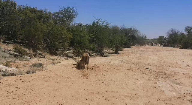 A short video clip of the donkey dunking for water in the dry river bed