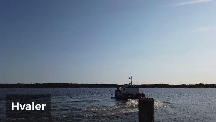 45 sekunder om bruk av Jernhest i sivbelter  på Hvaler.  #strandrydding på @visithvaler