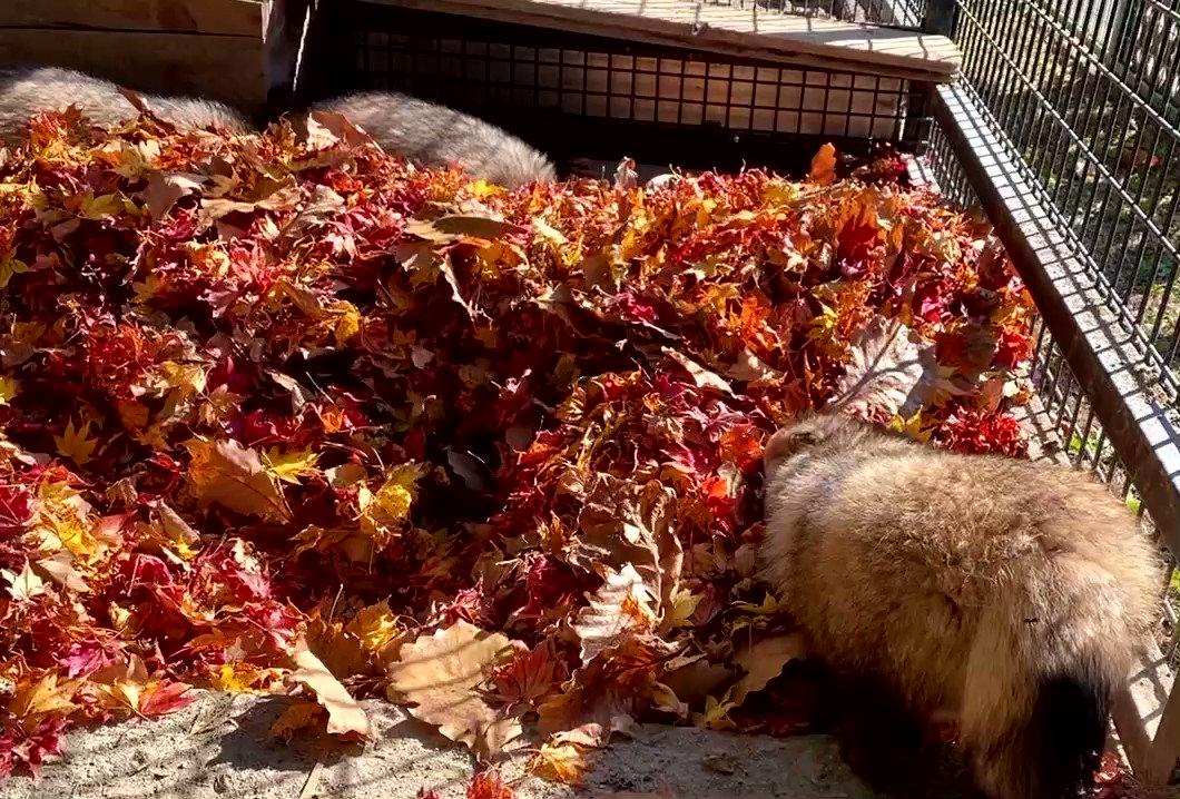 ぽふん。#おびひろ動物園 #エゾタヌキ#obihirozoo   #raccoondog#今日のたぬき  #埋もれたぬき🍁