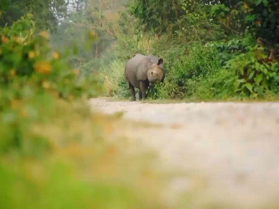 Was travelling back to home from #BoteTaal . He was having his lunch 😁 and guess What he is Vegeterian 😂..Then got this video clip 🥰🥰 Love Nature Love Wildlife #SaveNatureSaveWildlife  #ParanPhotography  #Nikonusers #NikonD750  #OneHornedRhinoceros