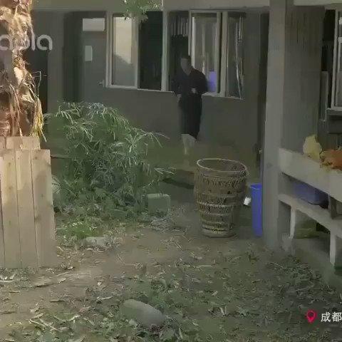 パンダと追いかけっこする動画が無限に癒される