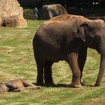 微笑ましい光景!爆睡した赤ちゃんゾウを飼育員さんに起こしてもらうお母さんゾウ