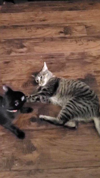 Playful kittens 🐈🐈⬛ https://t.co/liOg0n5afe