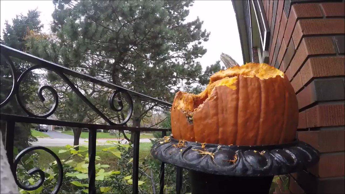 ハロウィンが近付き、軒先にカボチャが飾られるようになると、野生のリスが家のカボチャを大量に食べるため、住宅街ではまるまると太った肥満のリスがみられるようになります。