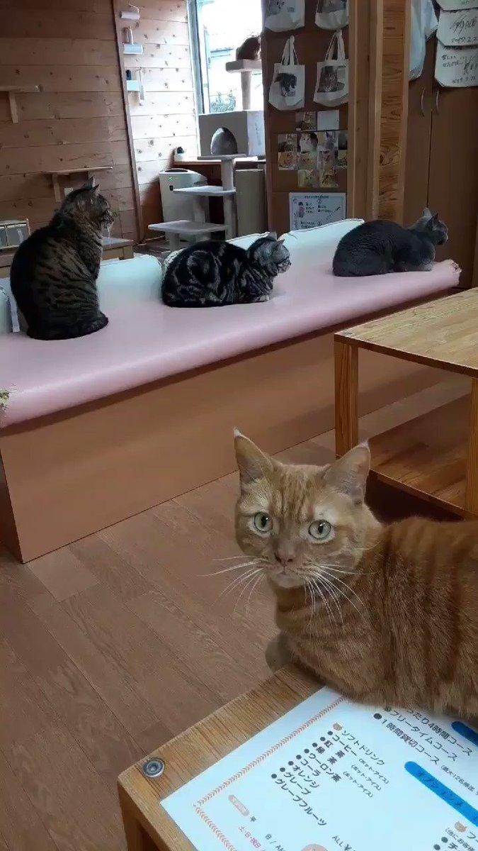 今日の猫カフェちぐら#新潟 #猫 #猫カフェ