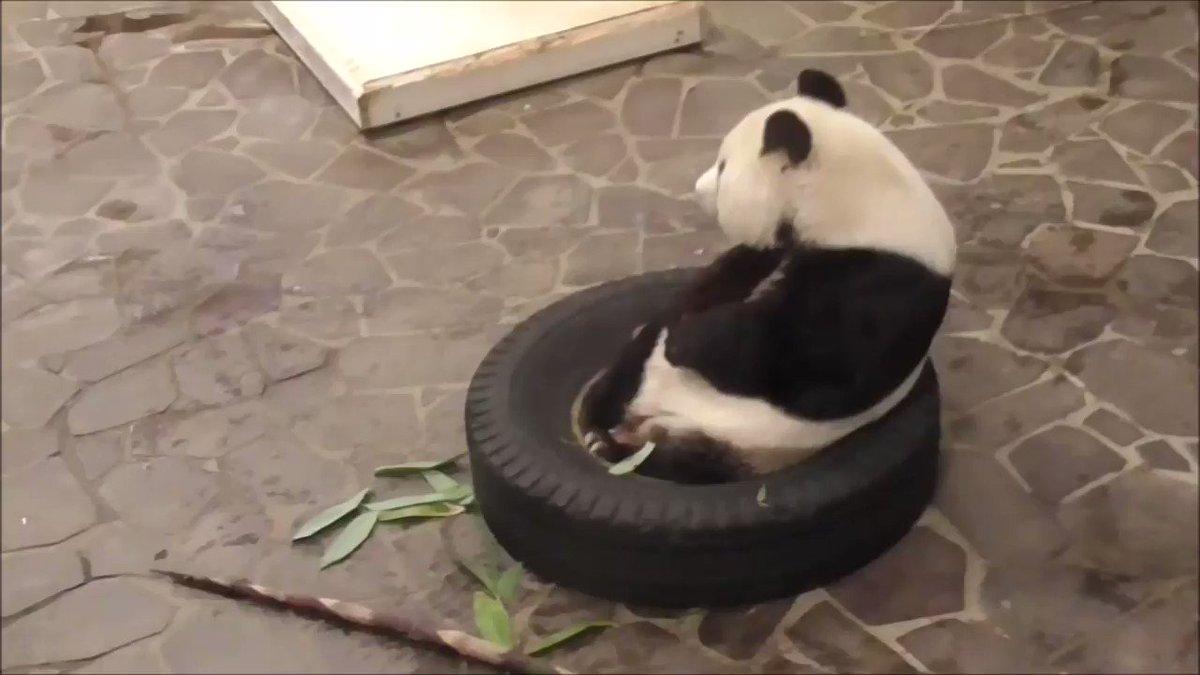 たんたんさん、タケノコタイムです😋太目なのを二本あげましたが、ぺろりと完食でした!#きょうのタンタン#王子動物園  #ジャイアントパンダ