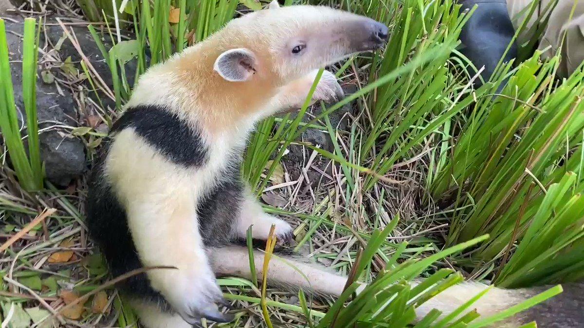 『今日のプロレス 10/30』#伊豆シャボテン動物公園#zoo#ミナミコアリクイ#SouthernTamandua#シャボテン本舗#今日のプロレス#ドンコントトケイ#まだまだ外で遊びます