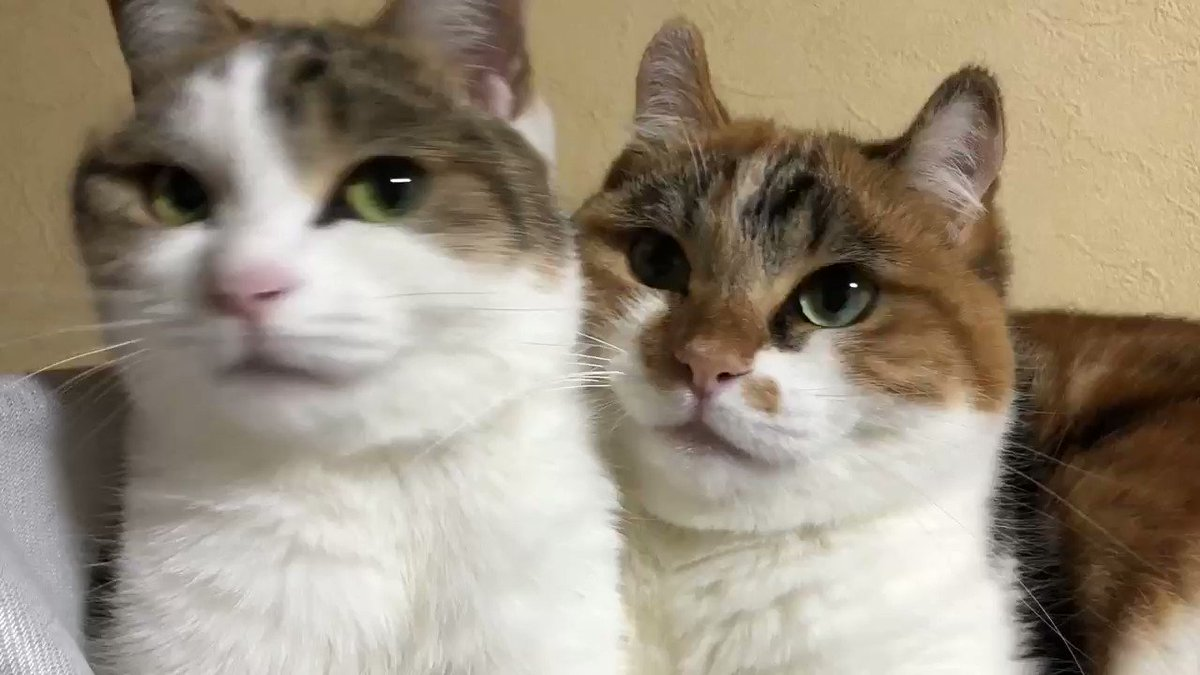 毎度の…🐥🍑姉妹シンクロ(*≧∀≦*)#アメリカンカール #ペルシャ猫 #americancurl  #三毛猫 #cats #ねこ #子猫 #猫好き  #perciancat