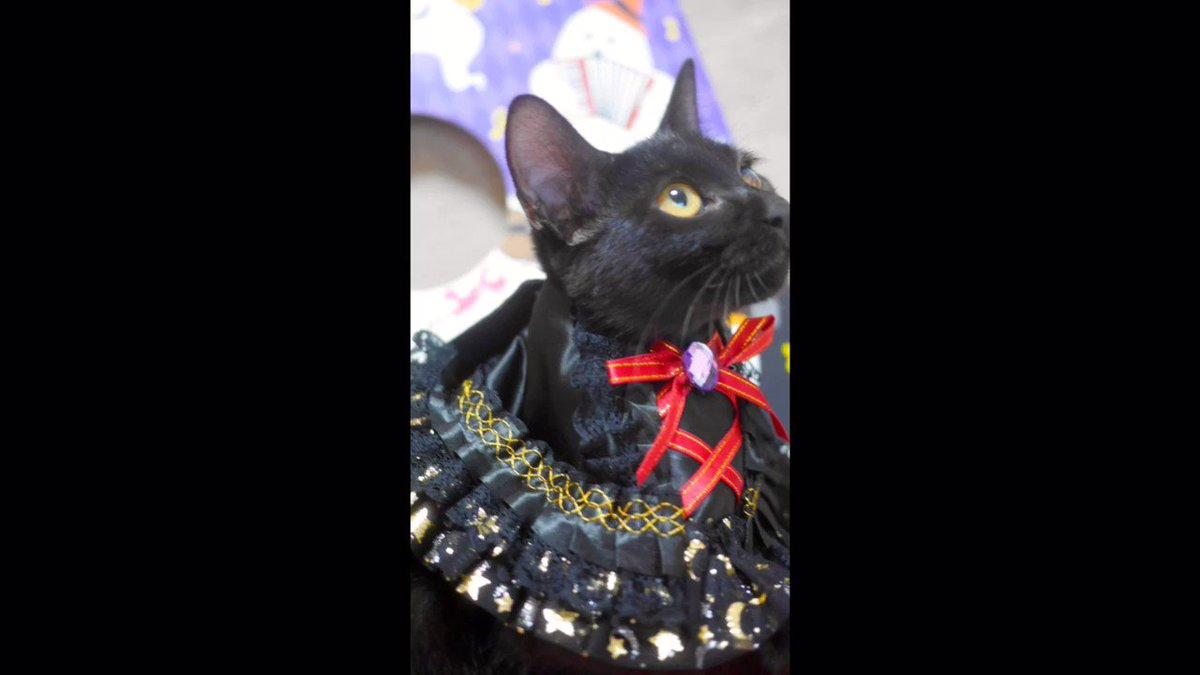 ハッピーハロウィンなのにゃ🎃👻🐈今日は楽しい黒猫の譲渡会。素敵な家族と出会って夜は綺麗な満月が見られるたらいいなぁ〜ブルームーンだって🌕みなさまも楽しいハロウィンをお過ごしくださいね。#キャットソシオン譲渡会