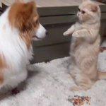 犬VS猫の短足格闘大会が開催?もどかしい動きが愛らしい!w