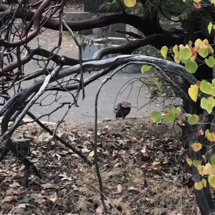 You think you're safe. You think there is no danger. You slip into a false sense of security. You never suspect what comes running at you from around the corner. #ConstantVigilance  📷 Mountain Quail vs. California Ground Squirrel https://t.co/8N12clxXG4