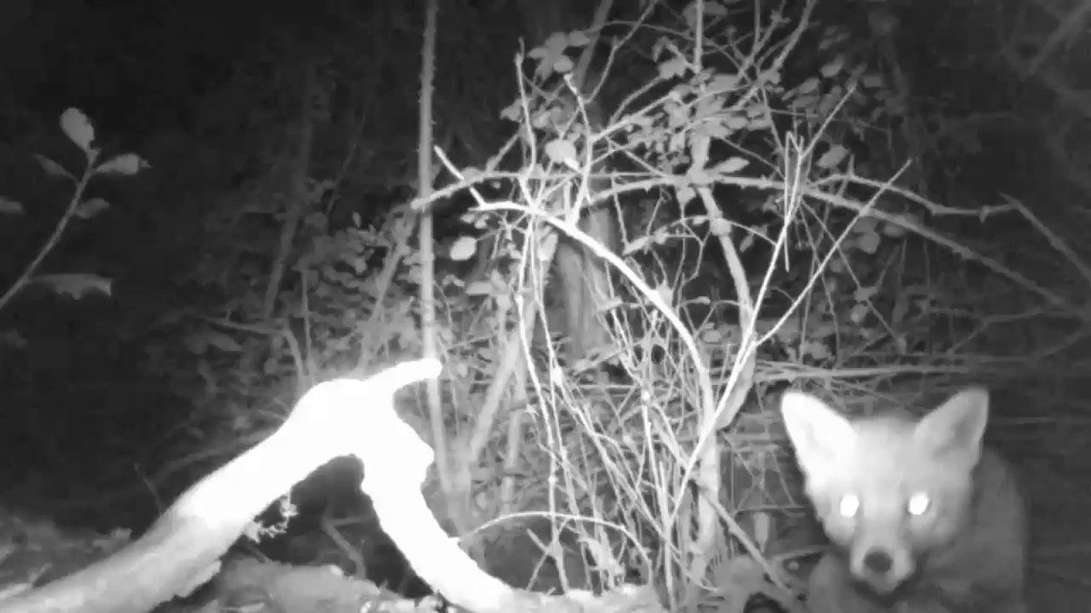 The latest clip from my wildlife camera, the inquisitive Mr/Mrs Fox 🦊🐾 #Autumnwatch