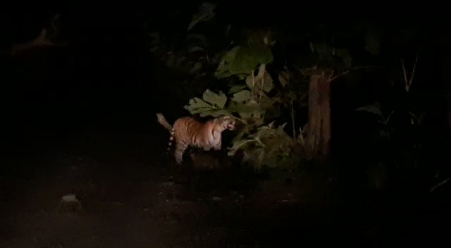 Brilliant and beautiful capture of tigress with cubs in Dudhwa Tiger Reserve by Field Director. A worth watch.  @ntca_india @UpforestUp